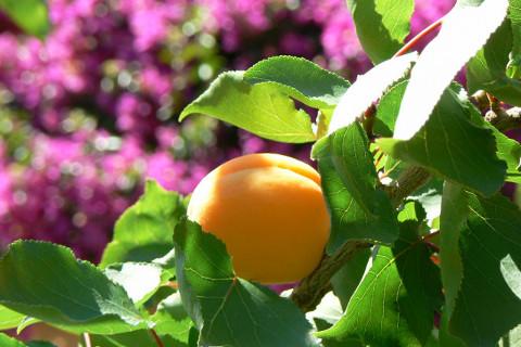 abricot-du-jardin